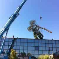 abbattimento cedro marazzi gru tronco 2