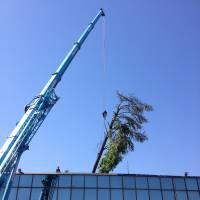 Abbattimento cedro marazzi gru tronco
