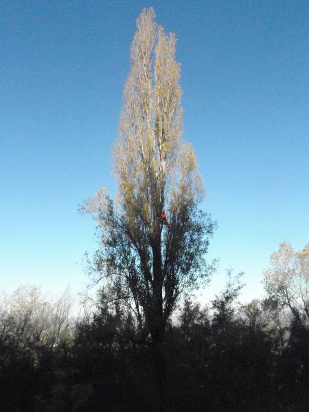 Treeclimbing Pioppo cipressino